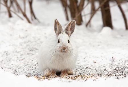 Snowshoe Hare (Lepus americanus) in winter Stock Photo