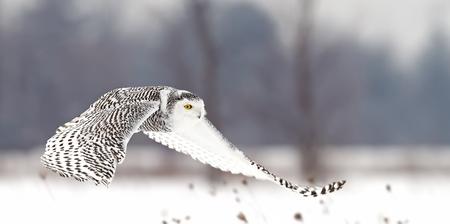Schnee-Eule (Bubo scandiacus) fliegt niedrig über einem offenen schneebedeckten Feld