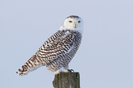 Snowy owl (Bubo scandiacus) perched on a post in winter