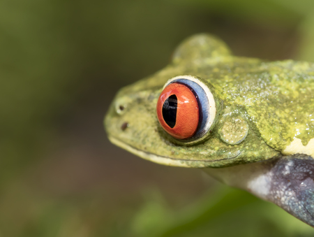 Red-eyed tree frog closeup (Agalychnis callidryas), Costa Rica
