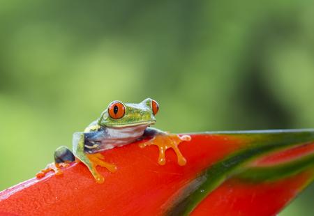 Red-eyed tree frog on plant (Agalychnis callidryas), Costa Rica Stock Photo