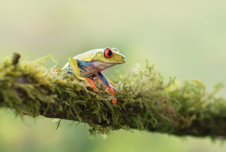 rain forest animal: Red-eyed tree frog on branch (Agalychnis callidryas), Costa Rica