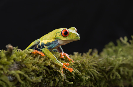 Red-eyed tree frog on branch (Agalychnis callidryas), Costa Rica