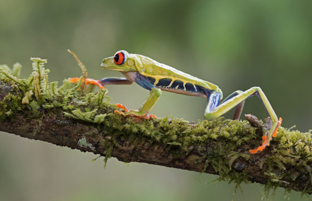 Red-eyed tree frog walking on branch (Agalychnis callidryas), Costa Rica Stock Photo