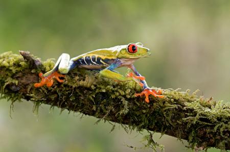 Red-eyed tree frog on branch (Agalychnis callidryas), Costa Rica