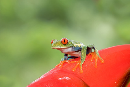 Red-eyed tree frog on plant (Agalychnis callidryas), Costa Rica Stock Photo