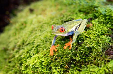 callidryas: Red-eyed tree frog on plant (Agalychnis callidryas), Costa Rica Stock Photo