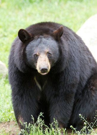 Black bear walking in the meadow