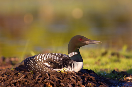 Common Loon (Gavia immer) on nest with two eggs