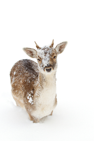 Fallow deer in winter snow looking at camera
