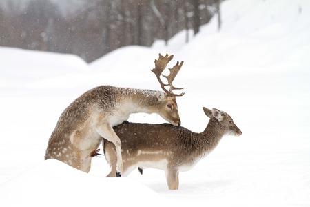 Damherten paring in de winter