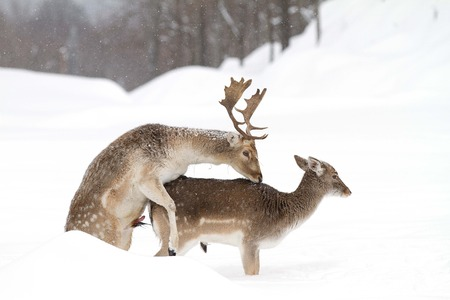 Fallow deer mating in winter