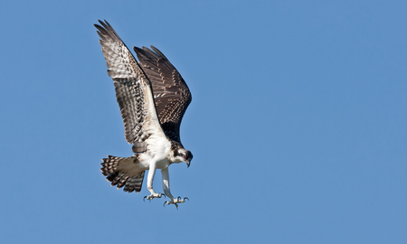 Osprey coming in to land on nest Stock Photo