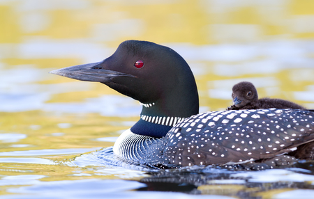 Common Loon (Gavia immer) swimming with chick on her back