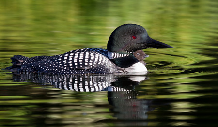 Common Loon (Gavia immer) swims in a lake in spring