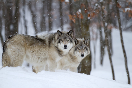 Timber wolves in the snow Banco de Imagens