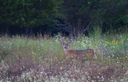 White-tailed deer buck in meadow with wildflowers