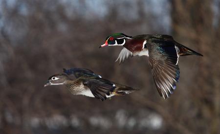 crested duck: Pair of Wood ducks (Aix sponsa) in flight