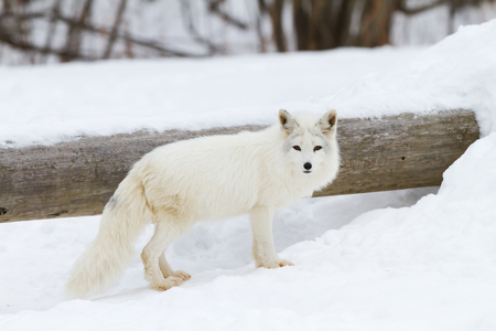 Arctic fox in the winter snow