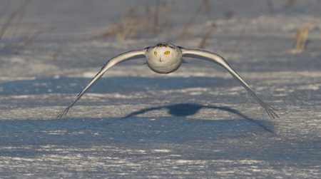 Snowy owl (Bubo scandiacus) comes in for a kill on a snowy field