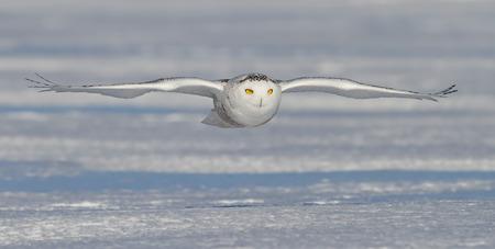 snowy field: Snowy owl (Bubo scandiacus) flies low over an open snowy field Stock Photo