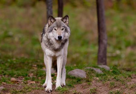 Timber wolf in autumn Stok Fotoğraf