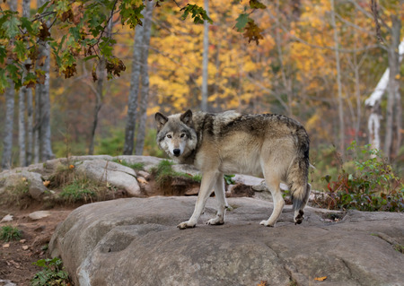 Timber wolf on rocky cliff in autumn