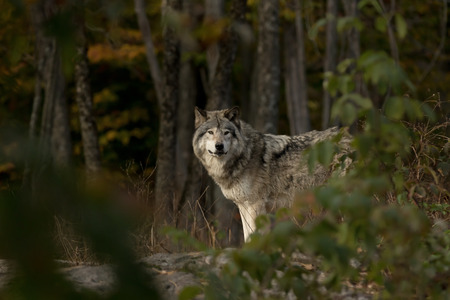 Timber wolf hunting in the forest in autumn Stock Photo