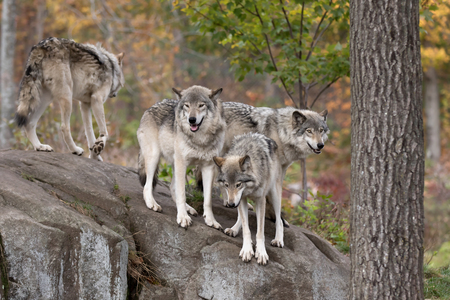 Timber wolves on rocky cliff in autumn Stock Photo