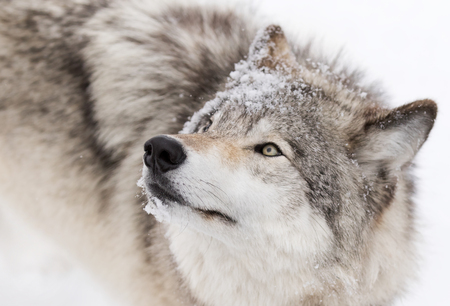 Timber Wolf close-up in the winter snow