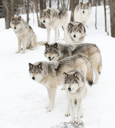 Timber wolves waiting to be fed in winter