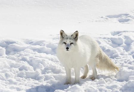 겨울에 눈에 서있는 북극 여우 스톡 콘텐츠