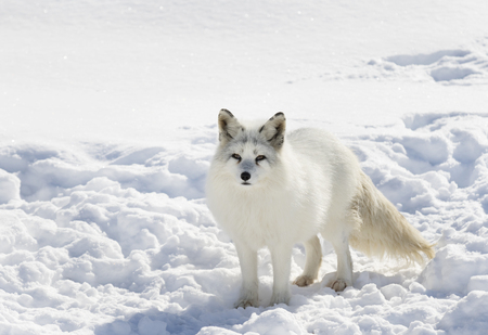 Arctic fox standing in the snow in winter 版權商用圖片 - 73320114