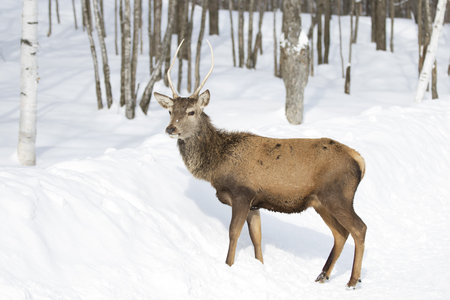 Red deer walking through the winter snow