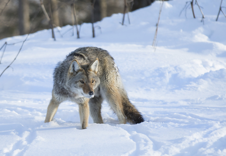Coyote in the winter snow