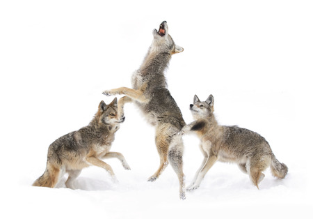 Coyotes dancing in the winter snow Stock Photo