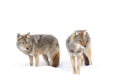 Coyotes in the winter snow Stock Photo