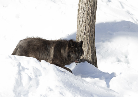 Black wolf walking in the winter snow