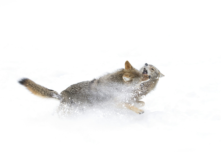 Coyotes fighting in the winter snow Stock Photo