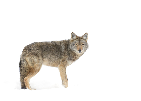 Coyote standing in the winter snow Stock Photo