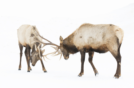 Elk bulls fighting in the winter snow