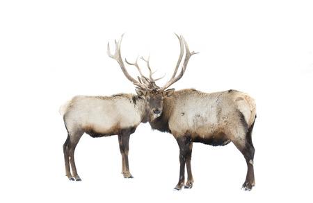 cervus: Two Elk bulls standing in the winter snow