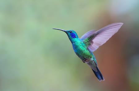 Green Violetear Hummingbird in flight