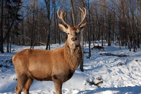 Red deer standing in the winter snow