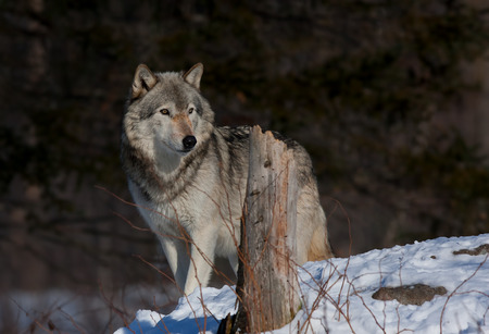 Timber wolf in the winter snow Banco de Imagens