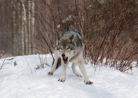 Timber wolf in the winter snow Stock Photo