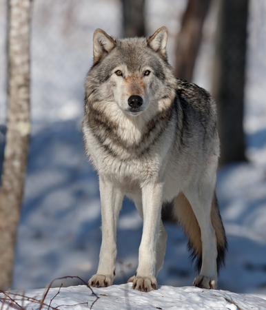 Timber wolf in the winter snow 스톡 콘텐츠