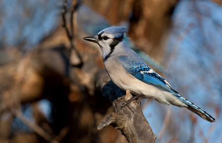 Blue Jay - Cyanocitta cristata perched on a branch in spring Stock Photo