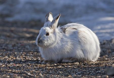 lapin: Lièvre en raquettes (Lepus americanus) au printemps Banque d'images