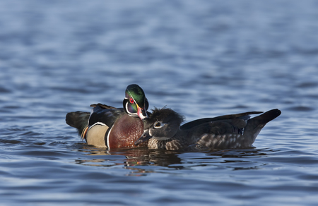 crested duck: Pair of wood ducks swimming in the river